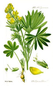 La plante de lupin